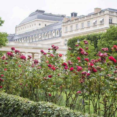 Roses in Palais Royal